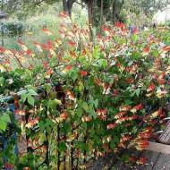 Mina lobata (0.5 grame) seminte de flori urcatoare pentru decorarea teraselor, Agrosem