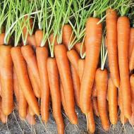 Morcovi Touchon (4500 seminte), morcovi soi semitimpuriu culoare portocaliu intens, Agrosem