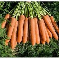 Namdal F1 - 25.000 sem - Seminte de morcovi (calibru seminte < 2.0 mm) tip Nantes cu sistem foliar bogat ce permite recoltarea mecanizata avand o capacitate medie de pastrare de la Bejo