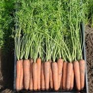 Newhall F1 - 25.000 sem - Seminte de morcovi orange tip Nantes (calibru seminte < 2.0 mm) recomandat pentru zonele cu climat continental de la Bejo