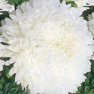 Ochiul boului Princess alb (0,4g), seminte de ochiul boului cu flori mari, deosebit de frumoase, albe, Agrosem