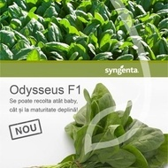 Odysseus F1 - 100.000 sem - Seminte de spanac frunza ovala verde inchis pentru consum sau industrializare de la Syngenta