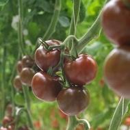 Olmeca F1 - 500 sem - Seminte de rosii nedeterminat tip KUMATO pentru sere si solarii fructe rotunde de culoare maro de la Syngenta