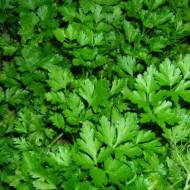 Patrunjel de frunze Ory (10 grame), soi romanesc rustic aromat, SCDL Buzau
