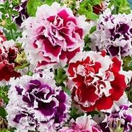 Petunia Multiflora - 50 sem - Petunaia x Hybrida Pendula Seminte flori de la Florian