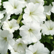 Petunie alba (0,75 g), seminte flori petunii albe de la Agrosel