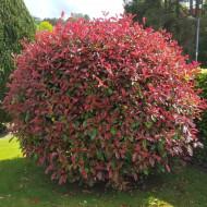 Photinia Red Robin (ghiveci 1,5 L), arbust decorativ, frunze rosii, lucioase