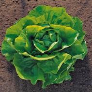 Pronto - 5000 sem - Seminte drajate de salata cu frunze de un colorit atractiv verde stralucitor bine indesata recomandata pentru culturile de primavara tarzie vara si toamna de la Enza Zaden