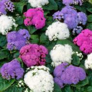Pufuleti pitici mix (1400 seminte), planta anuala flori albastre, albe, roz, foarte decorative, Agrosem