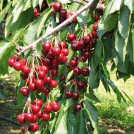Puiet de cires Stella, pom fructifer cires soi productiv, autofertil, Yurta