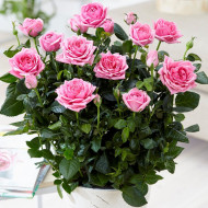 Rosa Mini Heidesimfonie (ghiveci 1,5 l), trandafir pitic cu flori roz aprins