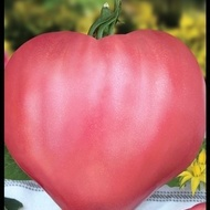 Rozov Dar (250 seminte) de rosii tip Inima de Bivol Gigant, Dar Roz, Florian