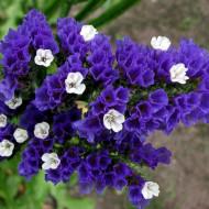Saraturica albastra (0.15 grame) seminte de flori puternic ramificate, Agrosem