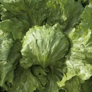 Saula - 5000 sem - Seminte drajate de salata tip Iceberg ce se pot cultiva in camp primavara si toamna cu forma spectaculoasa si foarte rezistente la caldurile din luna iulie si august de la Enza Zaden