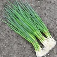 Savel-50.000 sem.-seminte de ceapa verde,recomandata pt. vara de la Hazera