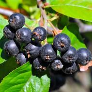 Scorus negru - Aronia (1 butas), arbust fructifer aronia negru, fructe acrisoare-astringente, Yurta