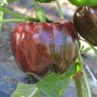 Seminte ardei Aurelius F1 (100 seminte), ardei gogosar, Hektar Agrosel