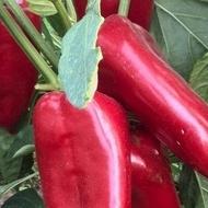 Seminte Ardei Kapia Ivaylovska (5 gr), crestere nedeterminata, fructe mari, soi bulgaresc