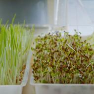 Seminte bio pentru germeni de creson (30 g), seminte pentru obtinerea de germeni sau micro-verdeturi de creson, Kertimag