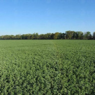Seminte lucerna Prista 3 (10 kg), rezistenta la seceta si ger, Florian