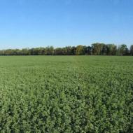 Seminte lucerna Prista 3 (10 kg), rezistenta la seceta si ger, randament da peste 20% mai mare decat soiurile clasice, Florian