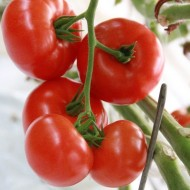 Seminte rosii Admiro F1 (100 seminte), crestere nedeterminata, De Ruiter Seeds