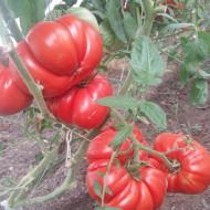 Seminte rosii de gradina gigant (1 gr), rosu de gradina, soi nedeterminat, Florian Bulgaria