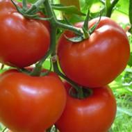 Seminte rosii Gravitet F1 (500 seminte), extratimpurii semideterminate, Syngenta
