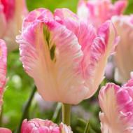 Silver Parrot (8 bulbi), lalele alb cu roz, bulbi de flori
