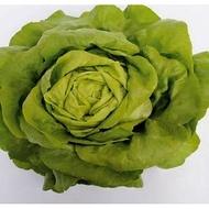 Sotalis - 5000 sem - Seminte drajate si pregerminate de salata ce produce capatani foarte mari si extrem de voluminoase avand o culoare verde proaspat de la Bejo