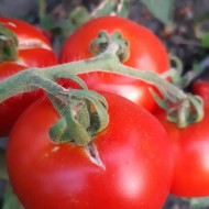 Sprint 34 F1 Seminte tomate extratimpurii semideterminate (1 gr), Florian Bulgaria