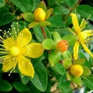 Sunatoare Medicinala (0,3 g) seminte de planta perena sunatoare, Agrosem