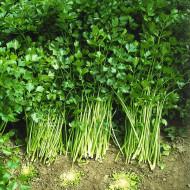 Telina de Frunze (1 kg), seminte de telina aromata de frunze, Agrosem