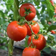 Tomate Fantom F1 – 50 sem – Seminte Tomate Nedeterminate Semitimpurii Superior Serbia