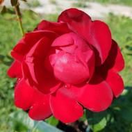 Trandafir Limar (1 butas), trandafirirosu carmin, butasi de trandafiri