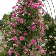 Trandafir Parade (1 butas), urcator roz aprins, butasi de trandafiri