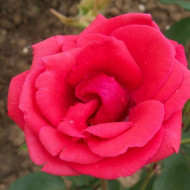 Trandafir Queen of Bermud (1 butas), culoare rosie, miros puternic, butasi de trandafiri
