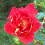 Trandafir Sultane (1 butas), trandafir urcator cu nuanta unor limbi de foc, butasi de trandafiri