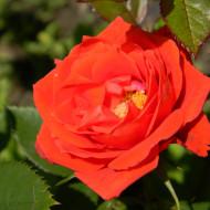 Trandafir Tanor Star (1 butas), rosu coral catifelat, butasi de trandafiri