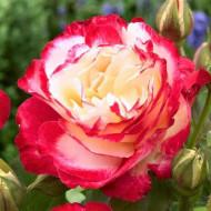 Trandafir Teahibrid Double Perfume (1 butas), armonie intre alb, galben si roz intens, butasi de trandafiri