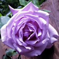 Trandafir Teahybrid Sissi, 1 butas de trandafir in ghiveci 2l cu inflorire repetata, cu flori mari de culoare mov, intens parfumate, Yurta