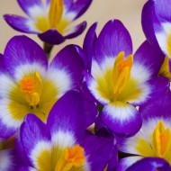 Tricolor (10 bulbi), branduse nuante vibrante, bulbi de flori