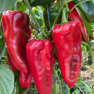 Valira F1 KAP 140502 (100 seminte) ardei capia fructe mari 23-25 cm, Fito Semillas