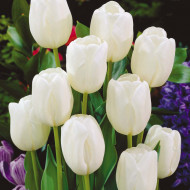 White Dream (8 bulbi), lalele alb imaculat, bulbi de flori