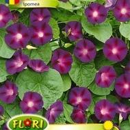 Zorele albastre-violet Ipomeea (750 seminte), zorele albastru-violet, Florian
