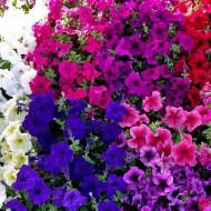 Petunie curgatoare mix (1600 seminte), petunia planta anuala de flori curgatoare