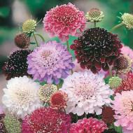 Muscata dracului (0.4 grame) seminte flori mix, Agrosem