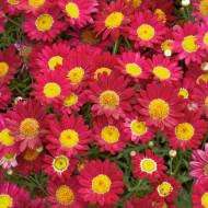Margarete rosii (0.4 grame) seminte de flori, Agrosem