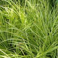 Acorus Oborozuki (ghiveci 1,5 l), iarba ornamentala frunze variegate galben cu verde