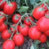Albarossa F1 - 1000 sem - Seminte de rosii cu fructe oval rotunde ce ajung la maturitate simultan fiind cel mai utilizat hibrid de tomate pentru procesare datorita calitatii productiei si continutului de substanta uscata Cora Seeds
